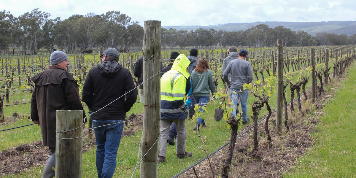 A group of people walk through grape vineyards in a grower group training