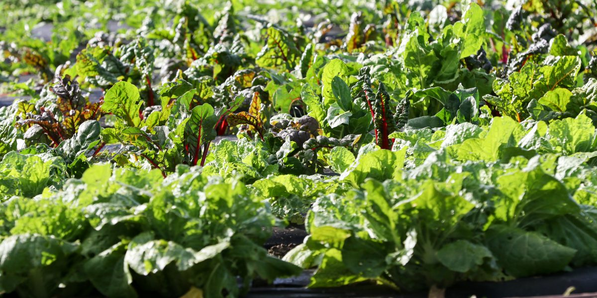 Rows of kale on Biopark organic farm ahead of organic training session